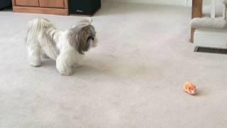 Shih Tzu dog Lacey's 2nd birthday and Zhu Zhu pet hamster