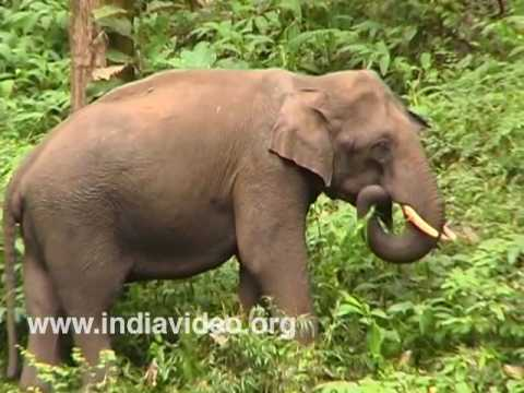 Elephants at  Eravikulam National Park