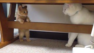 茶トラ子猫「ひろし」朝ご挨拶後、狭い場所に誘い込み猫パンチ連打! Little Kitty's Morning Routine thumbnail