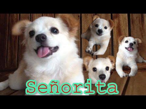 Señorita 2-4 Months  (Japanese Spitz X Shih Tzu)