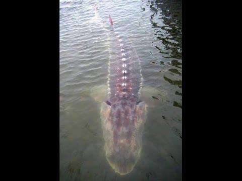 Yangtze river white sturgeon fish