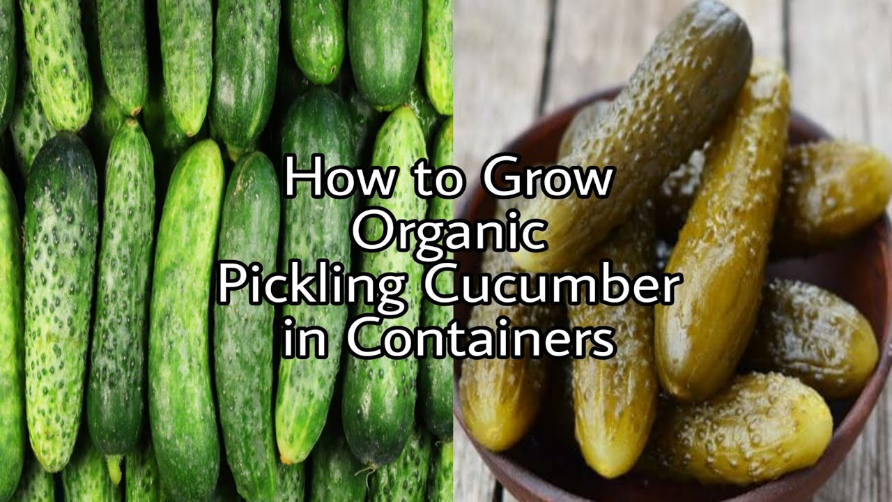 How to Grow Organic Pickling Cucumber in Containers