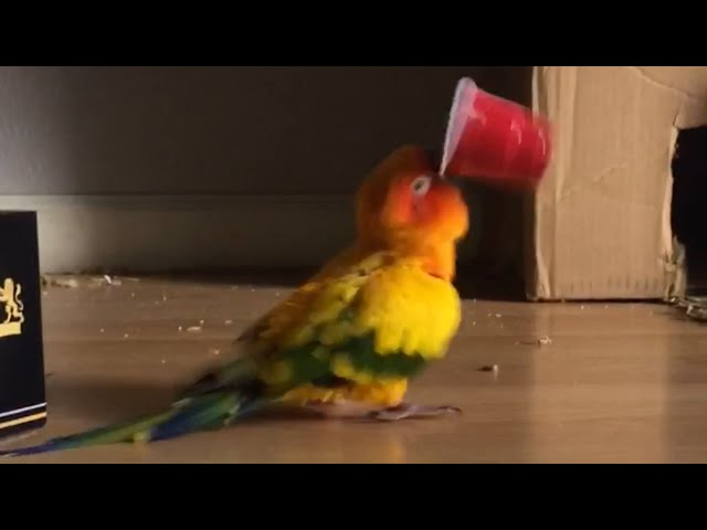 Parrot Vibrates Frantically While Holding Plastic Cup – 989688