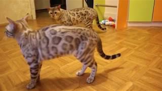 бенгальские снежные кошки. Продажа. Родословные по системе WCF.
