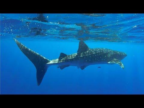כריש לוויתן במפרץ אילת