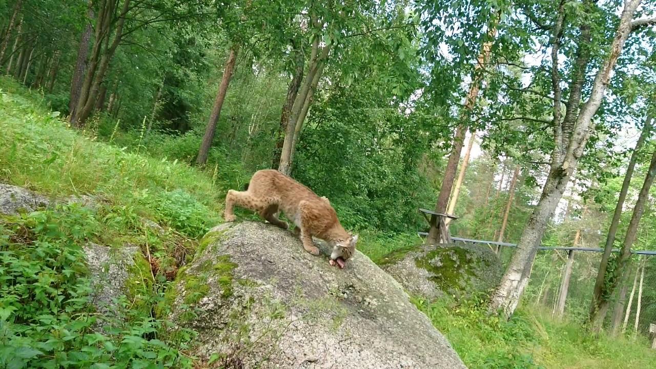 Lodjur På Lycksele Djurpark Lynx At Lycksele Zoo In Sweden Youtube