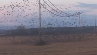 video: Watch: Starling murmuration causes power cuts in Scottish village