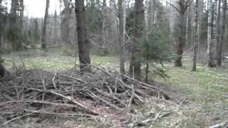 видео Ветреница алтайская