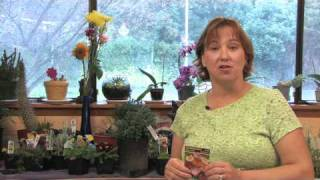 Flower Gardening Tips : How to Grow Oriental Poppy (Papaver Orientale)