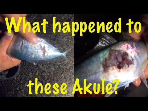 What Happened To These Akule? | Catching Sardines, Akule, Menpachi & More!