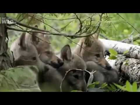 The Attack Of Wildlife - The Wild West - In The World