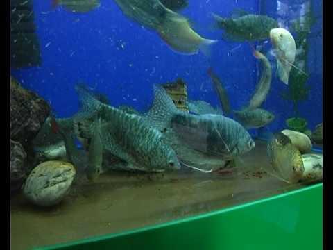 Лабиринтовые рыбки в игре аквамир 3d аквариум