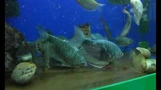 Гурами: лабиринтовые рыбы . Все О Домашних Животных.