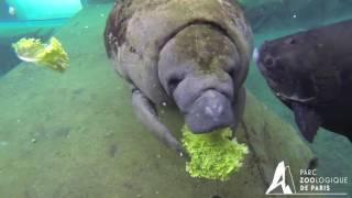 Nourrissage de Tinus, lamantin du Parc zoologique de Paris