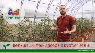 БОЛЬШЕ 100 ПОМИДОРОВ С КУСТА!!! ЕСЛИ....