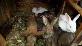 Продам кроликов - великанов (флаундеров) Липецкая область.