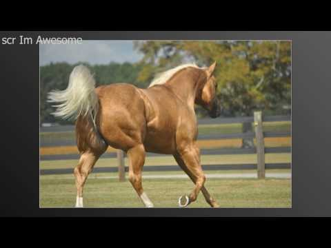 Scr Im Awesome AQHA Stallion