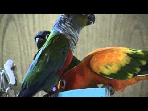 how to keep your sun conure quiet