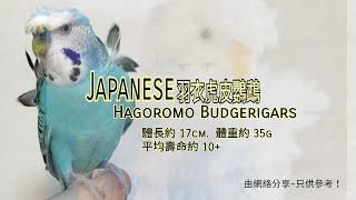 羽衣虎皮鸚鵡~Japanese hagoromo budgerigars