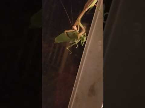 Praying Mantis vs. Katydid