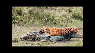 قوة مذهلة من TIGER مقابل التمساح. معظم هجمات القط الكبير المدهش. النمر مقابل التمساح.