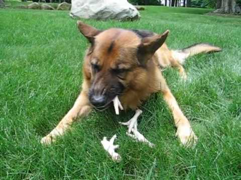 What Happens If Your Dog Eats Chicken Bones