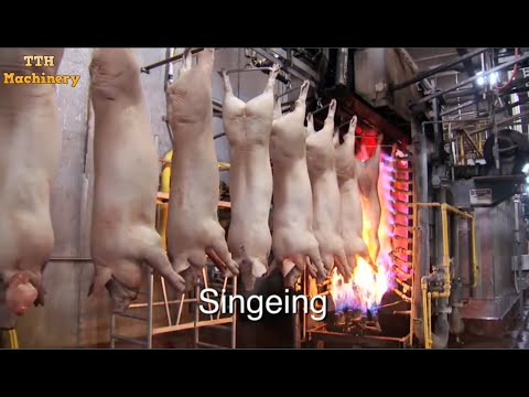 Extreme Modern Meat Processing And Inside A Semi-Automatic Processing Plant Line Pork Factory