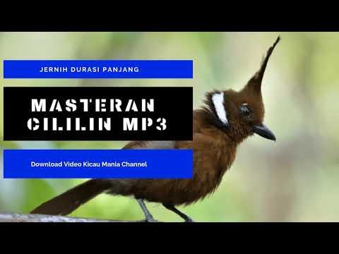 Masteran Burung Cililin Jernih Durasi Panjang |  Pancingan Cililin Agar Cepat Bunyi