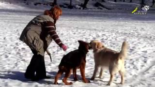 Немецкая овчарка - мифы и реальность, внутривидовая социализация щенка (часть 3)