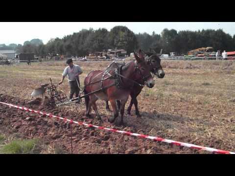 labour avec de mule