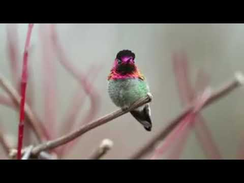 Humming birds ...changing coloured amazing video