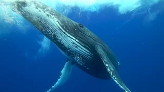 Humpback whales of the South West Pacific in 4K