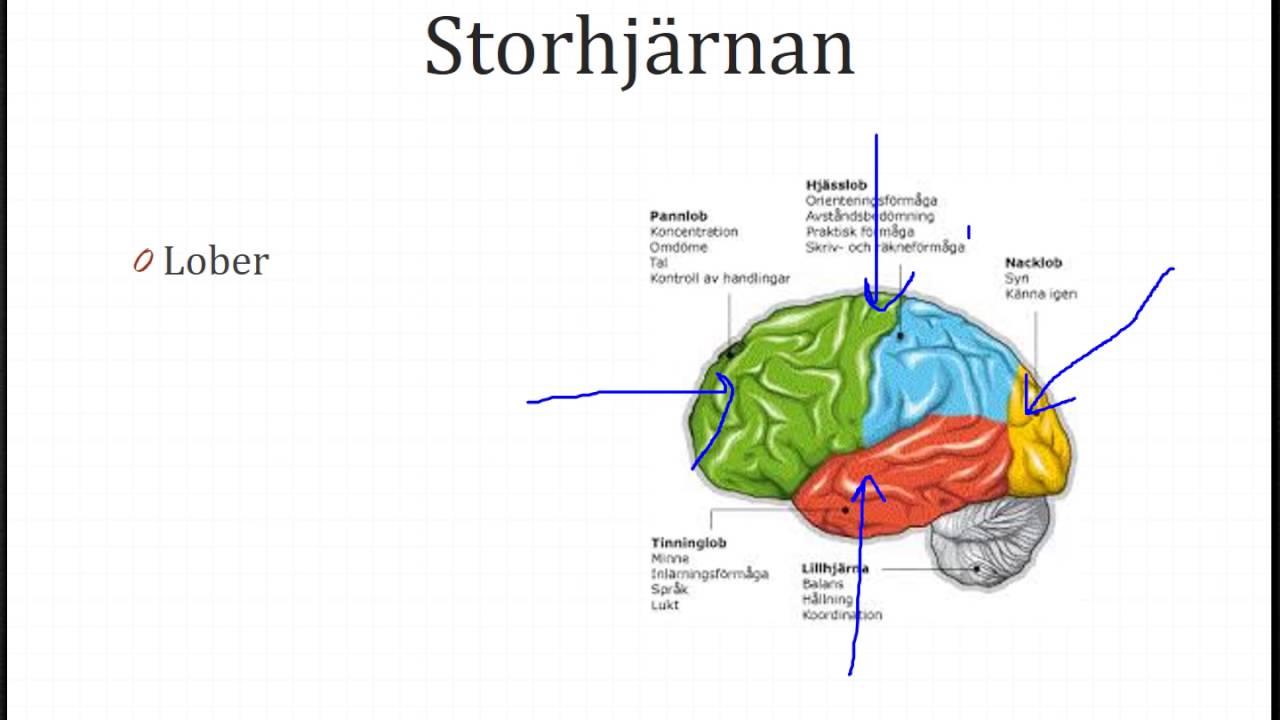 Kap 5 Nervsystemet Anatomi