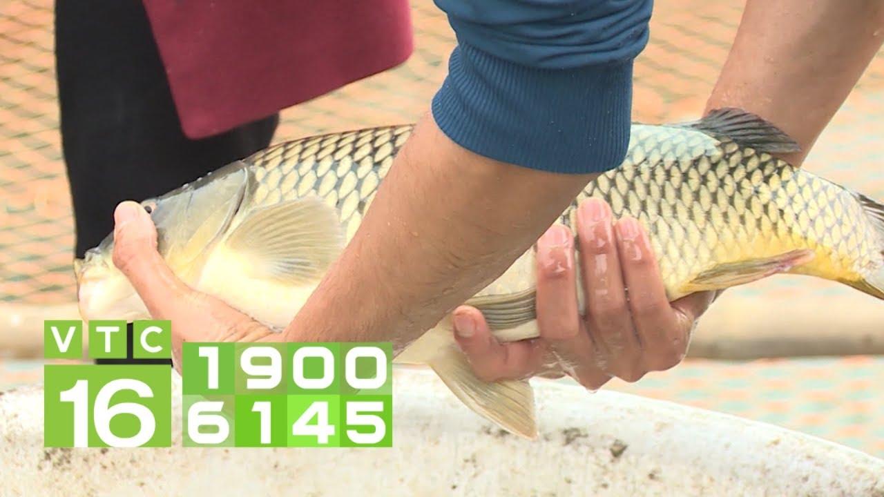 Quy trình nuôi cá chép giòn, thu lãi khủng | KHNN 279 | VTC16
