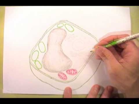 Mrgs plant cell diagram youtube mrgs plant cell diagram ccuart Gallery