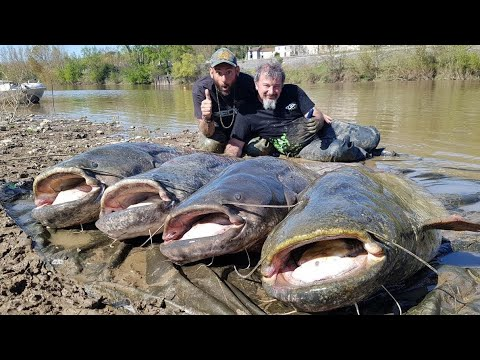 Massive Catfish For The Zeck Fishing Team In Several French Rivers - HD By Catfishing World