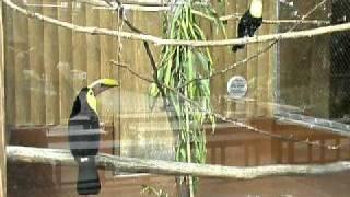 5月の松江フォーゲルパーク。クリハシオオハシのおしどり夫婦が鳴き交...