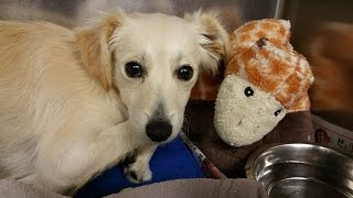 Learning To Trust Again | Oso 5 Month Terrier Puppy | Adopt Rescue Or Foster