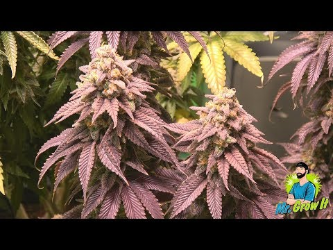 FLUSHING CANNABIS PLANTS PRIOR TO HARVEST! - FLUSH PHASE