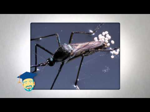Ask the Pest Professor about Mosquitoes in Winter