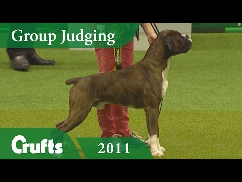 Boxer wins Working Group Judging (Again!) at Crufts 2011 | Crufts Dog Show