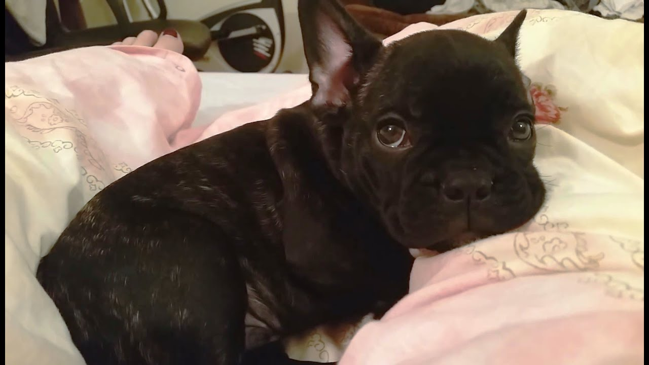 Cute French Bulldog Puppies Compilation Cfs Youtube