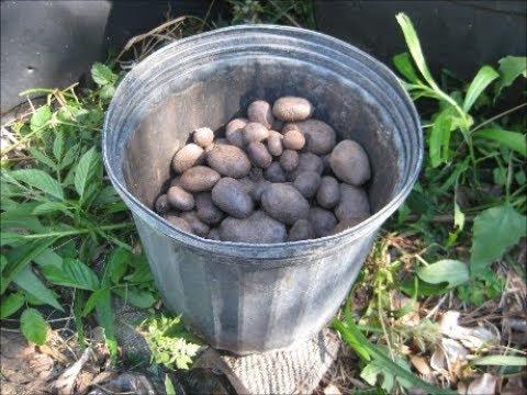 Growing Irish Potatoes in Houston