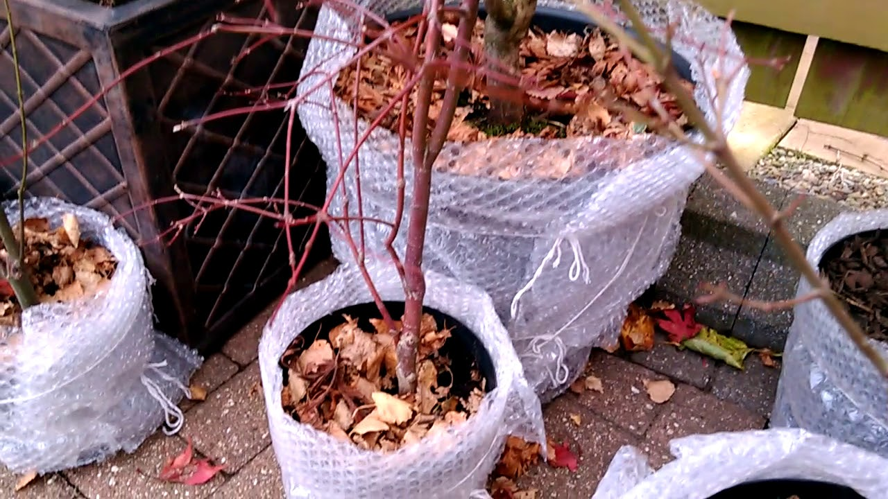 Protecting Potted Trees Over Winter