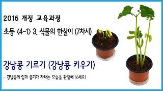 (2015년개정교육과정)(4-1) 강낭콩기르기(강낭콩 …