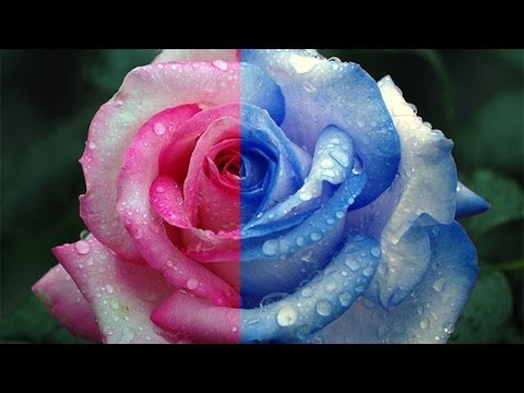 Tutorial photoshop cs6 how to change the color of an for Color changing roses