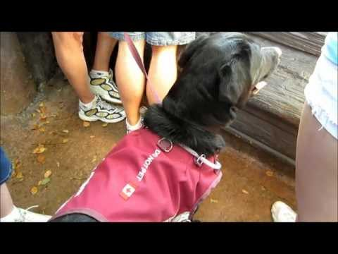 Tommy's Autism Assistance Dog Guide Adel excited about the tiger at Disney's Animal Kingdom