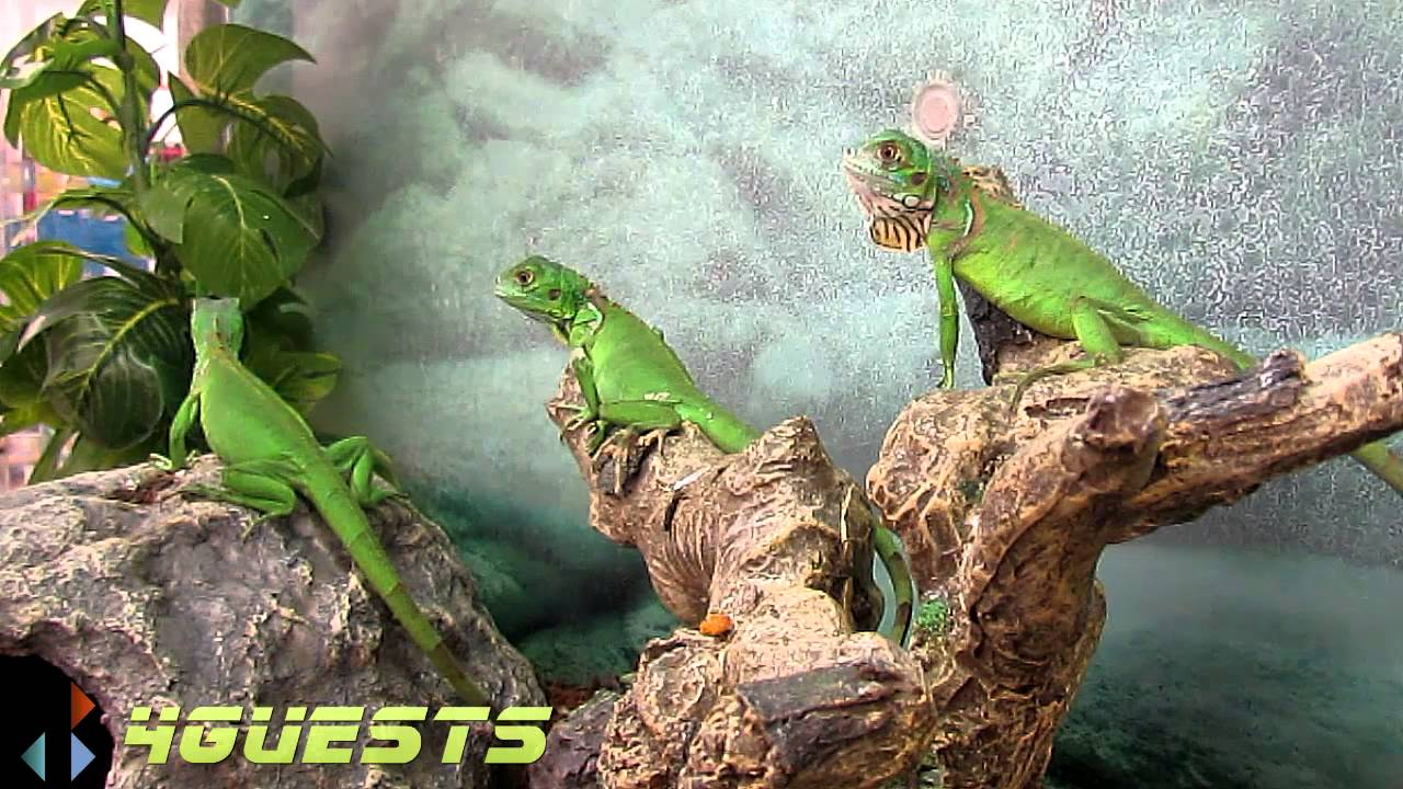 green iguana pet youtube