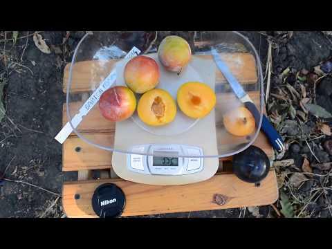 Плодовые - Слива - Семена и саженцы почтой от НПО Сады