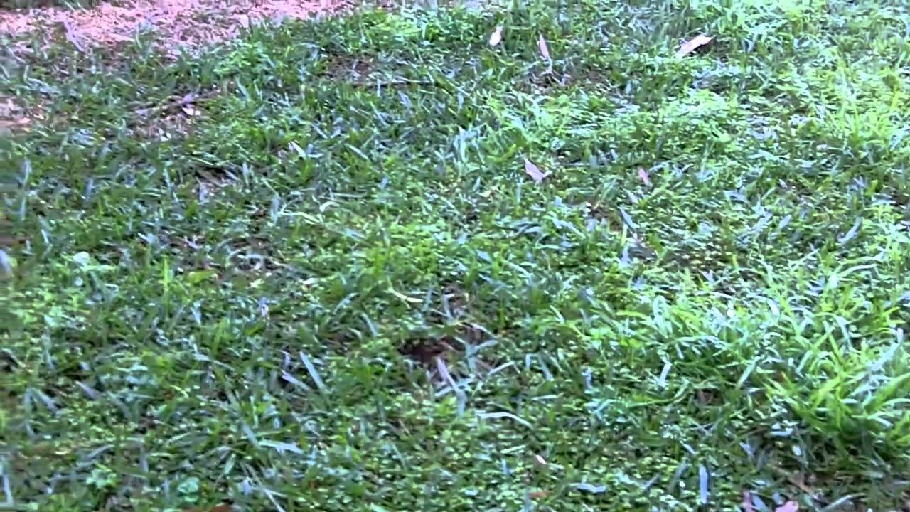 How to get rid of lawn weeds -  How To Kill Winter Grass How To Get Rid Of Winter Grass Winter Grass Control Wintergrass